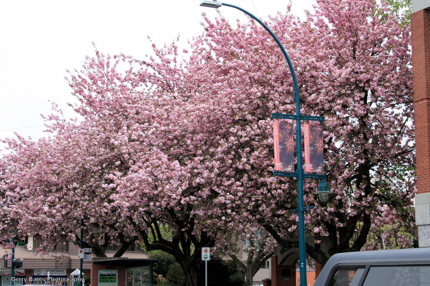 cherry blossoms tricities