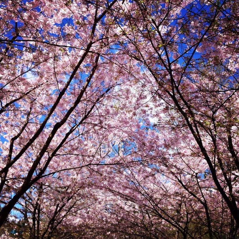 tricities cherry blossoms