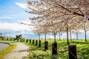 cherry blossoms richmond