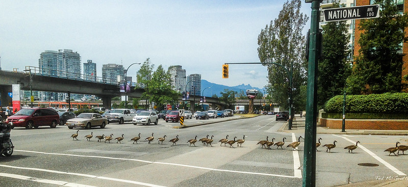 geese in vancouver