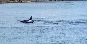 baby orcas