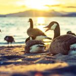 5 Ways Geese are Wreaking Havoc and How Vancouver is Looking to Control Them