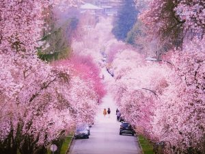 cherry blossoms best spots