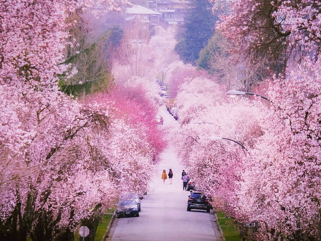Bc Is Turning Pink The Best Local Spots For Cherry Blossoms In 2021