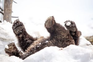 The Grouse Grizzlies Just Emerged From Hibernation and The Photos Are Adorable