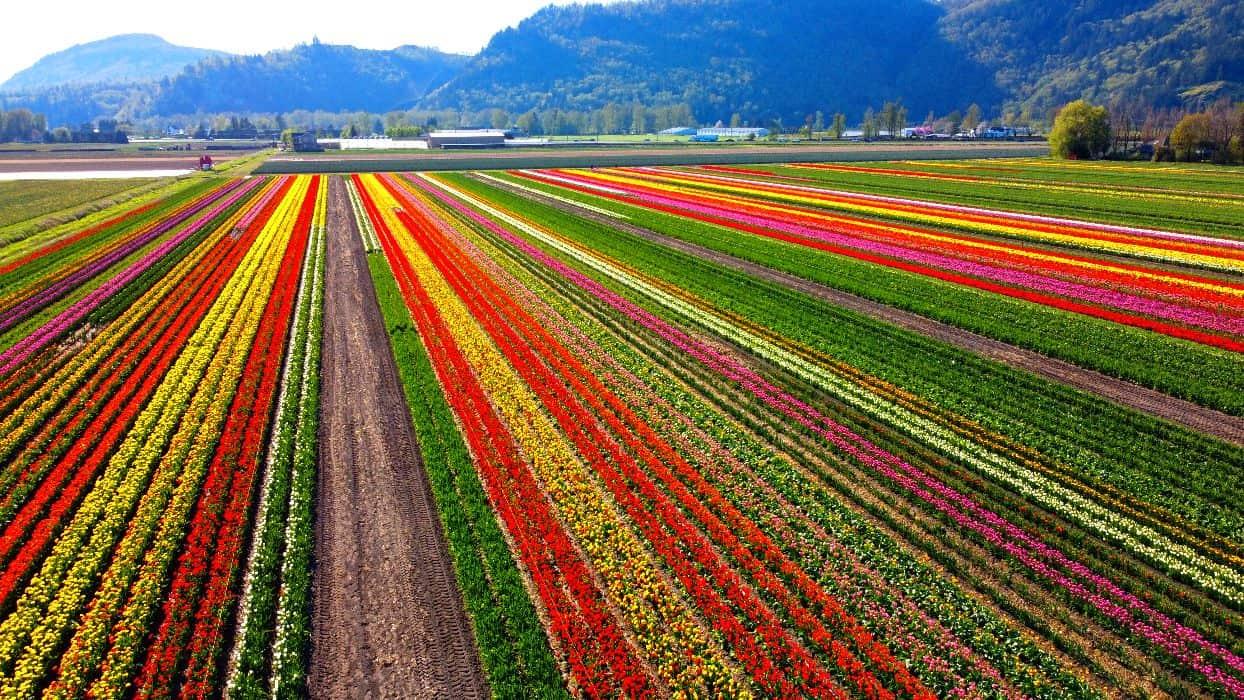 tulips flower farm