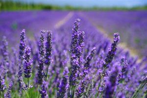 lavender farm richmond