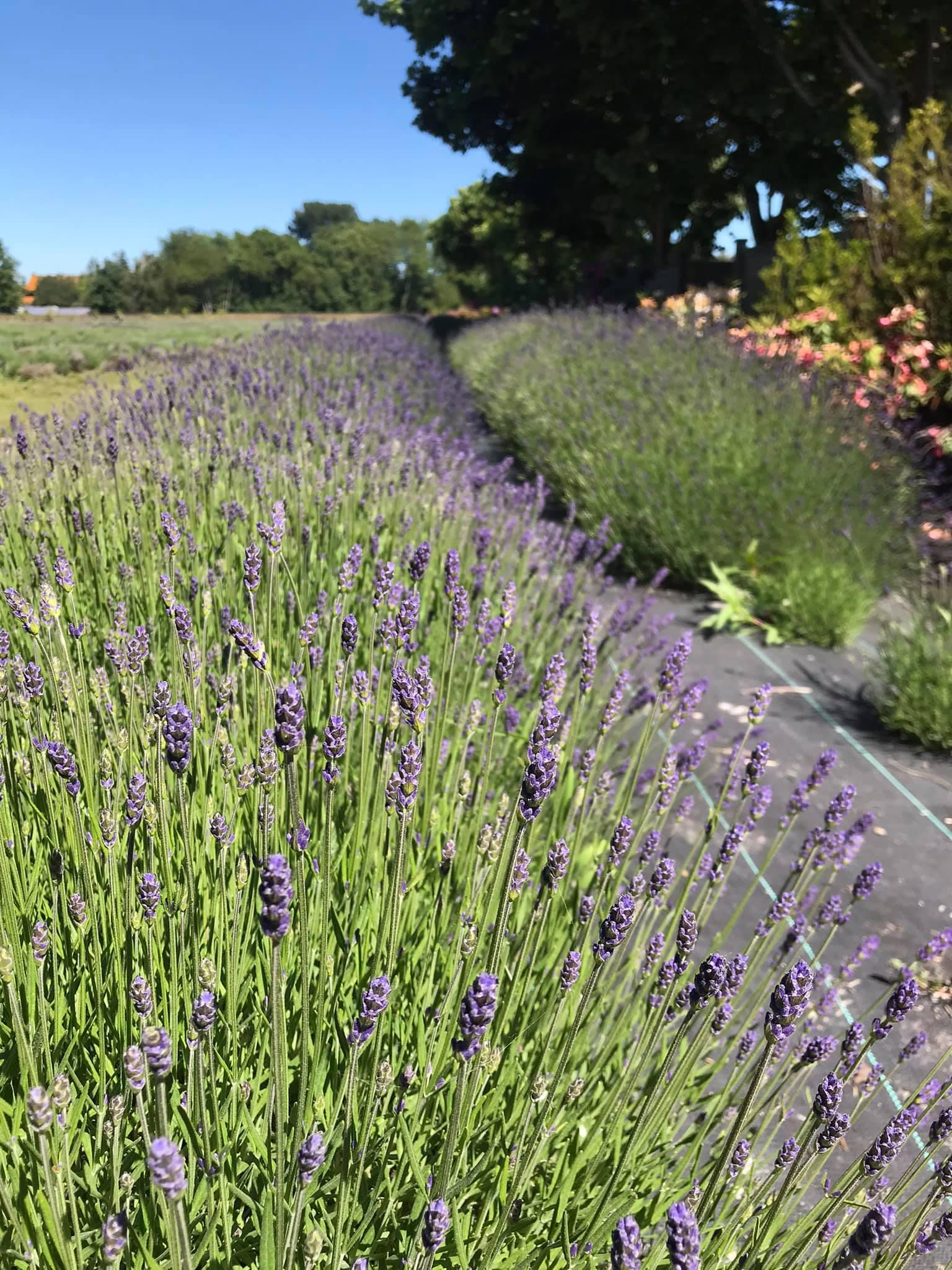 lavendarland richmond
