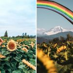 The Abbotsford Sunflower Fest Returns This Summer With a Massive Corn Maze