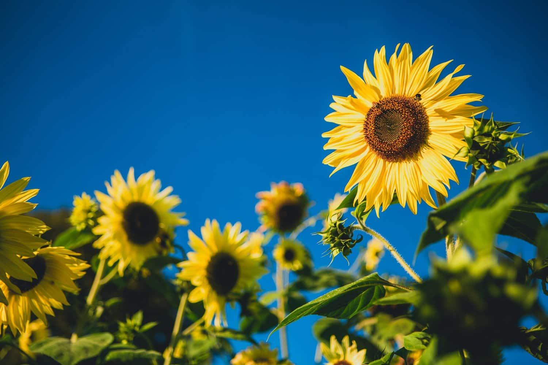 richmond sunflower farm festival