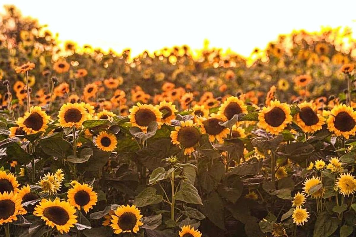 richmond sunflower farm